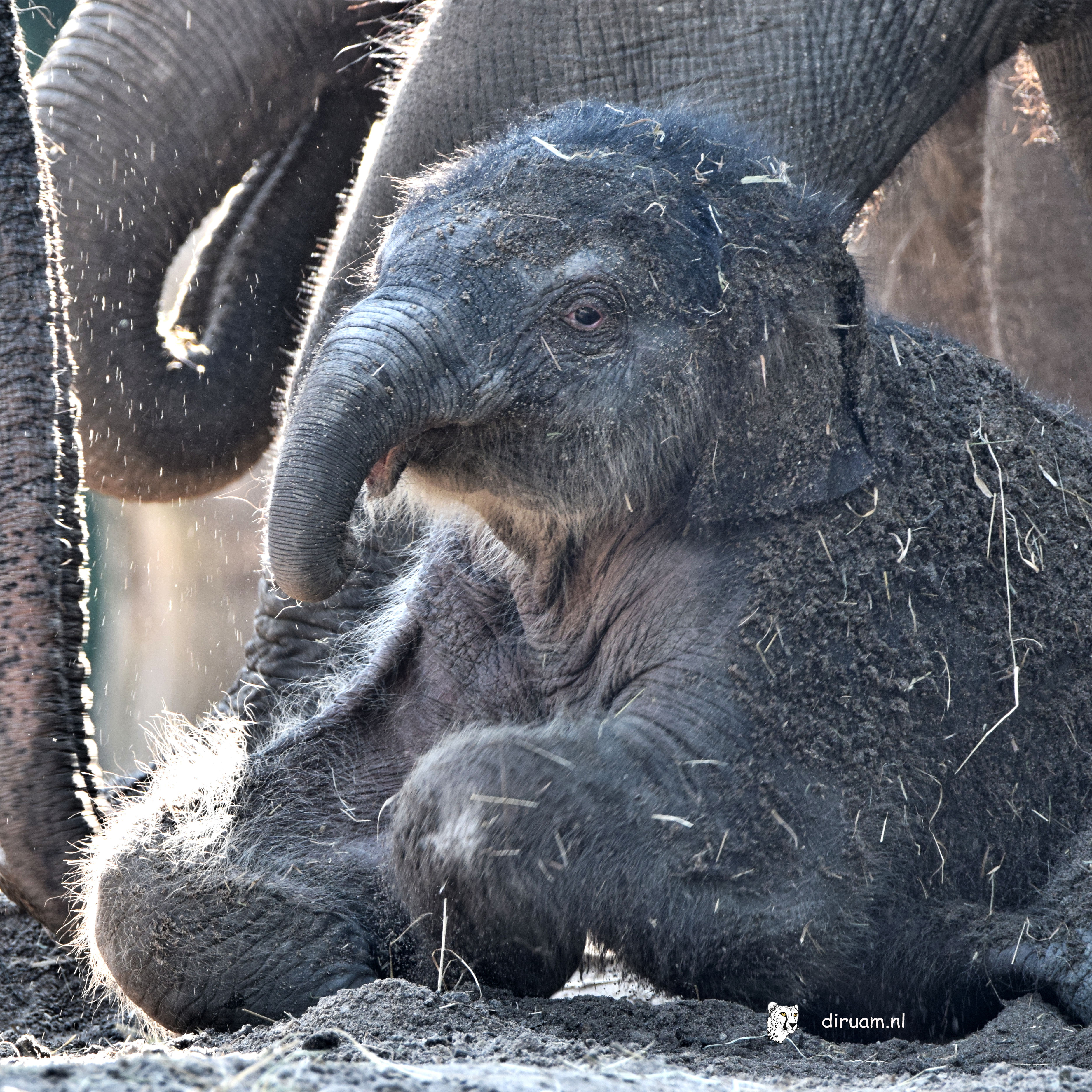 olifantje 1